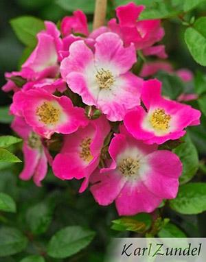 hohe rosen als sichtschutz